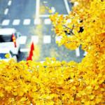 Miłorząb japoński lekiem współczesnej cywilizacji? Porozmawiajmy o jednej z najstarszych roślin na świecie